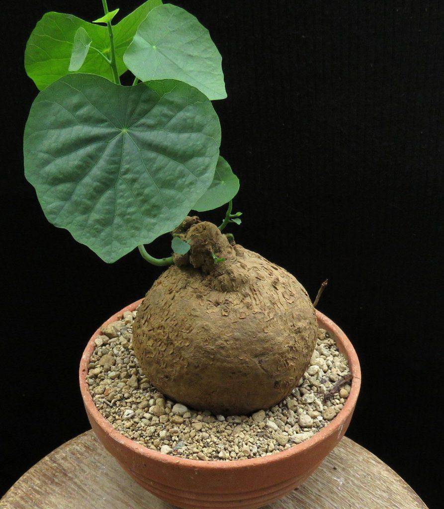 roślina w czerwonej doniczce o bulwiastym brązowym korzeniu i sercowatych liściach