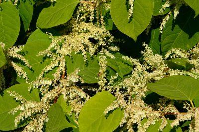 roślina z sercowatymi, zielonymi liściami i białymi kwiatami