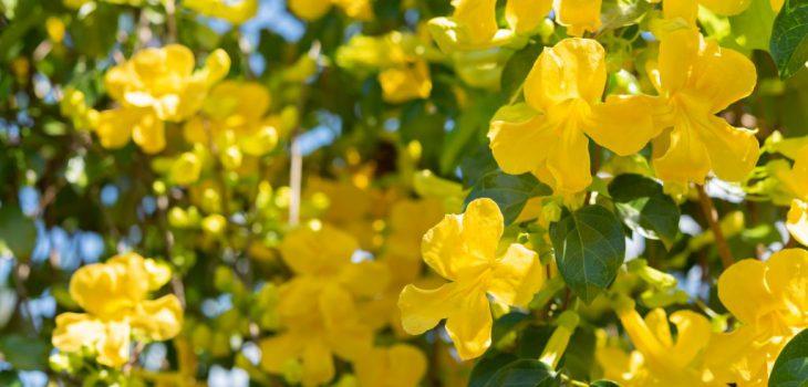 żółte kwiaty na pędzie rośliny z zielonymi liśćmi